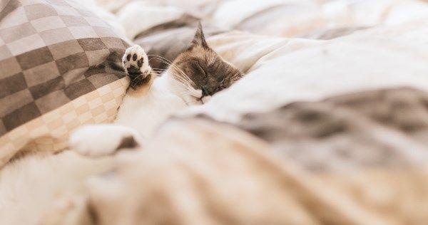 ベッドの中のねこ