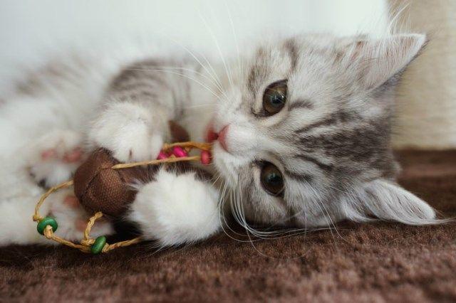 おもちゃで遊ぶねこ